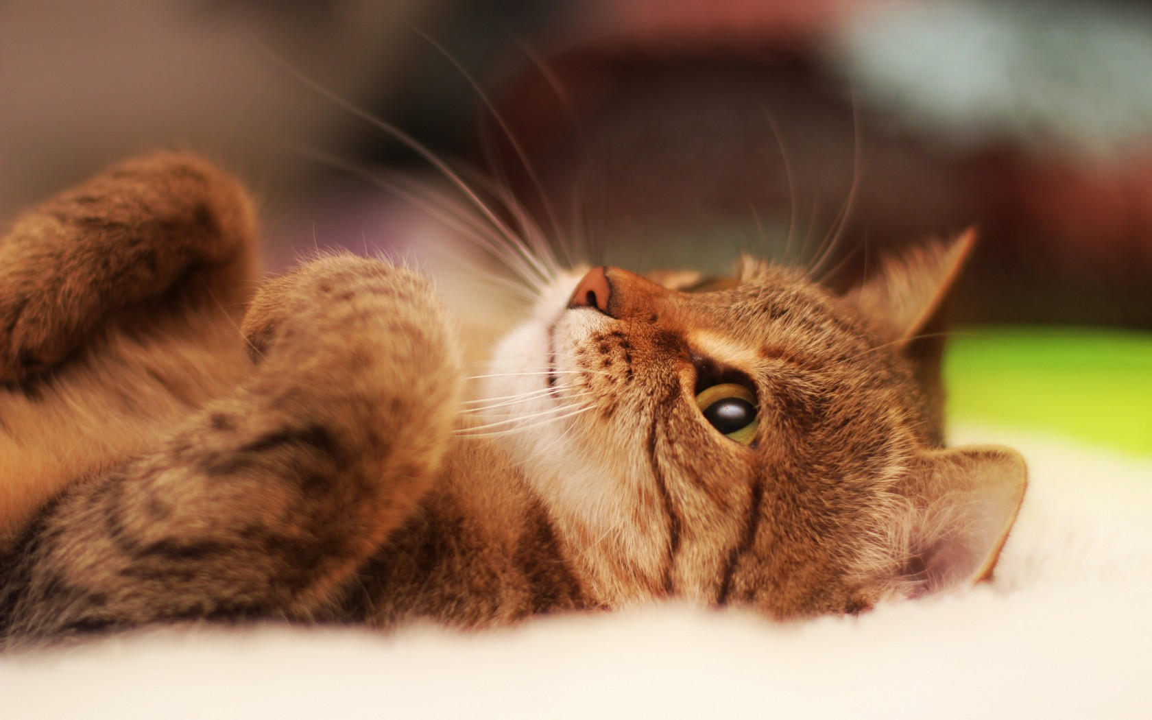 Cat Lying On Back Wallpaper for Desktop 1680x1050