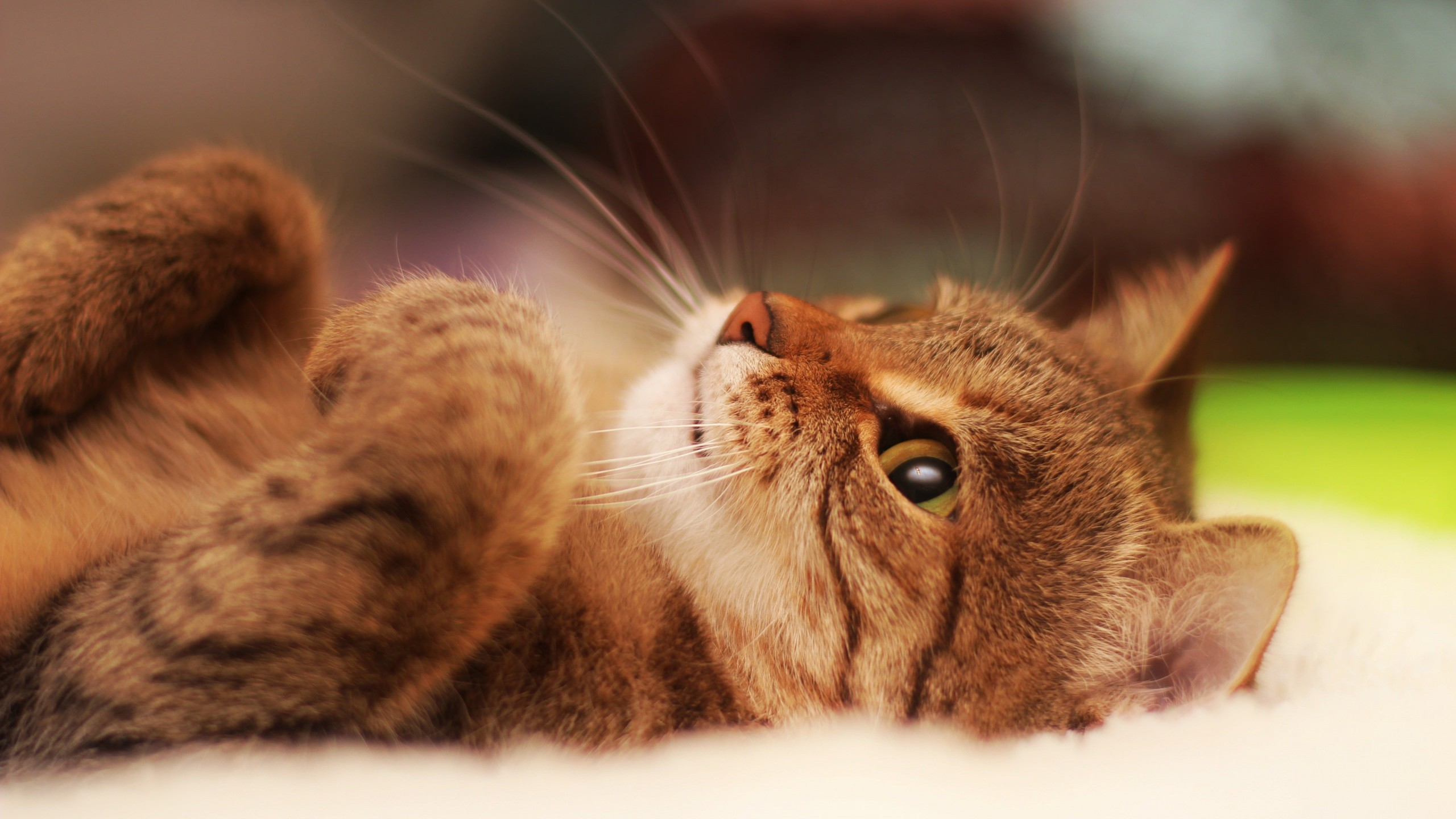 Cat Lying On Back Wallpaper for Desktop 2560x1440
