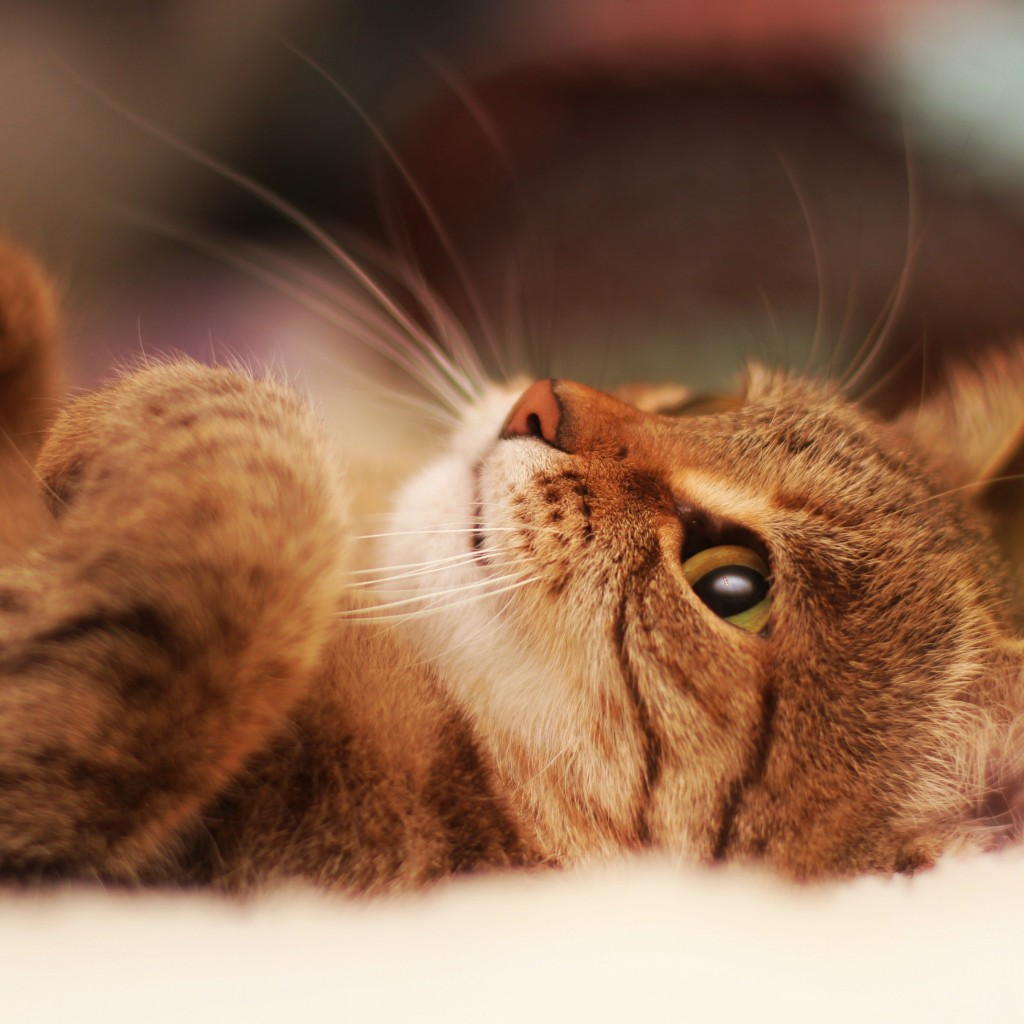 Cat Lying On Back Wallpaper for Apple iPad 2