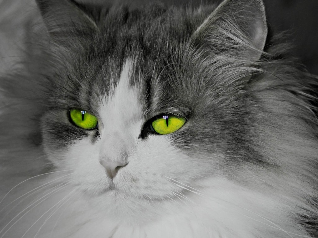 Cat With Stunningly Green Eyes Wallpaper for Desktop 1024x768