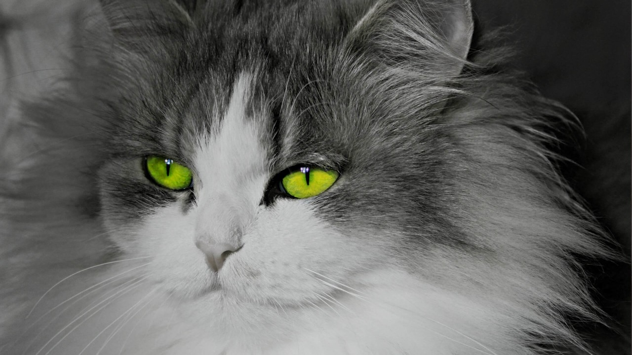 Cat With Stunningly Green Eyes Wallpaper for Desktop 1280x720