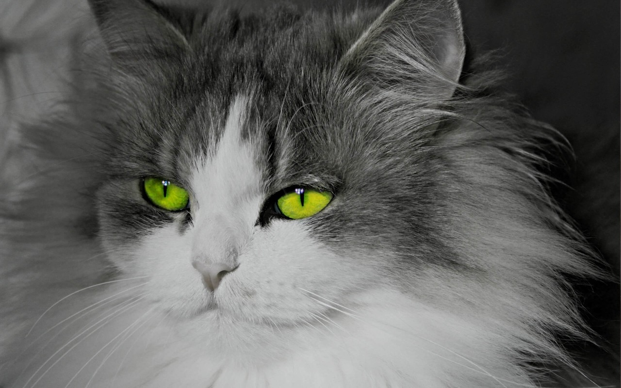 Cat With Stunningly Green Eyes Wallpaper for Desktop 1280x800
