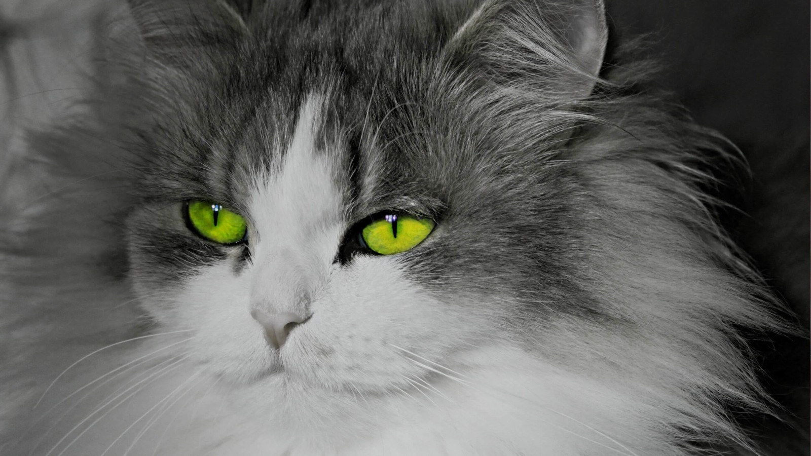 Cat With Stunningly Green Eyes Wallpaper for Desktop 1600x900