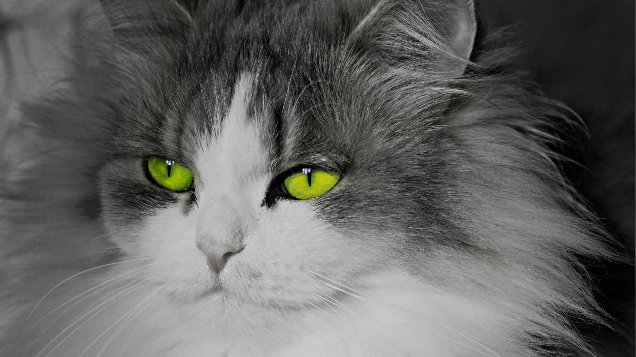 Cat With Stunningly Green Eyes Wallpaper for Desktop 2560x1440