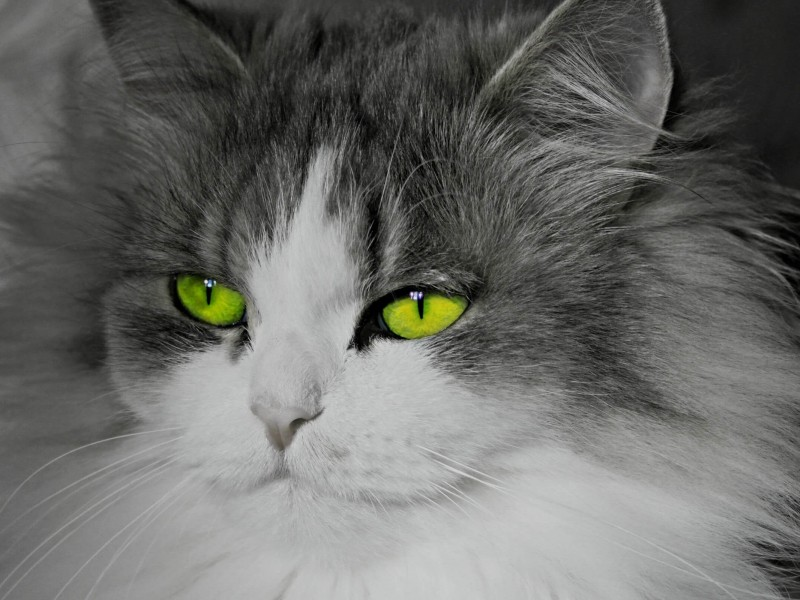 Cat With Stunningly Green Eyes Wallpaper for Desktop 800x600