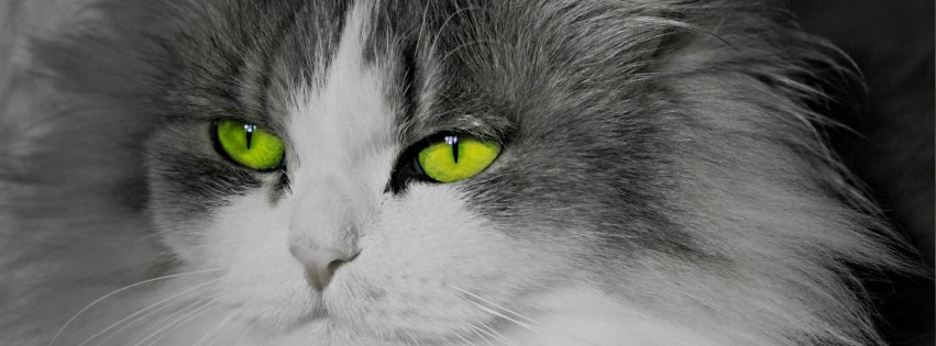 Cat With Stunningly Green Eyes Wallpaper for Social Media Facebook Cover