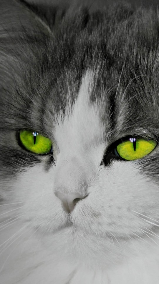 Cat With Stunningly Green Eyes Wallpaper for SAMSUNG Galaxy S4 Mini