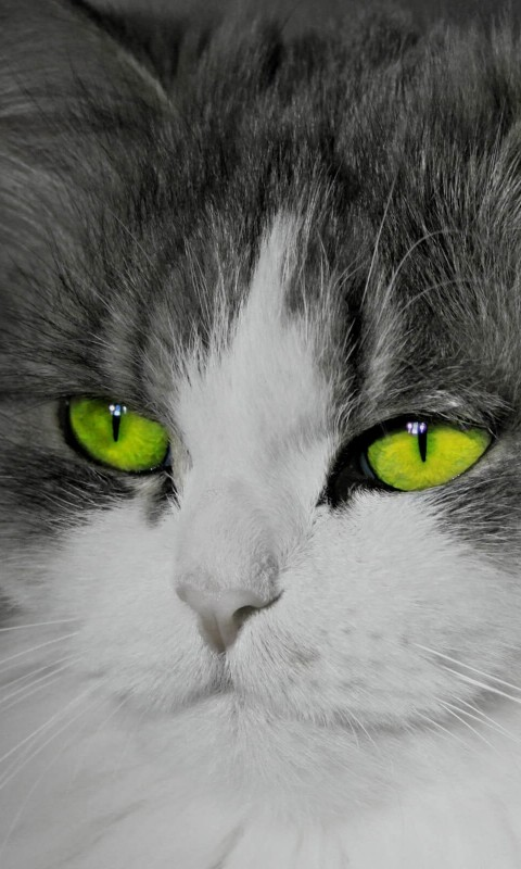 Cat With Stunningly Green Eyes Wallpaper for HTC Desire HD