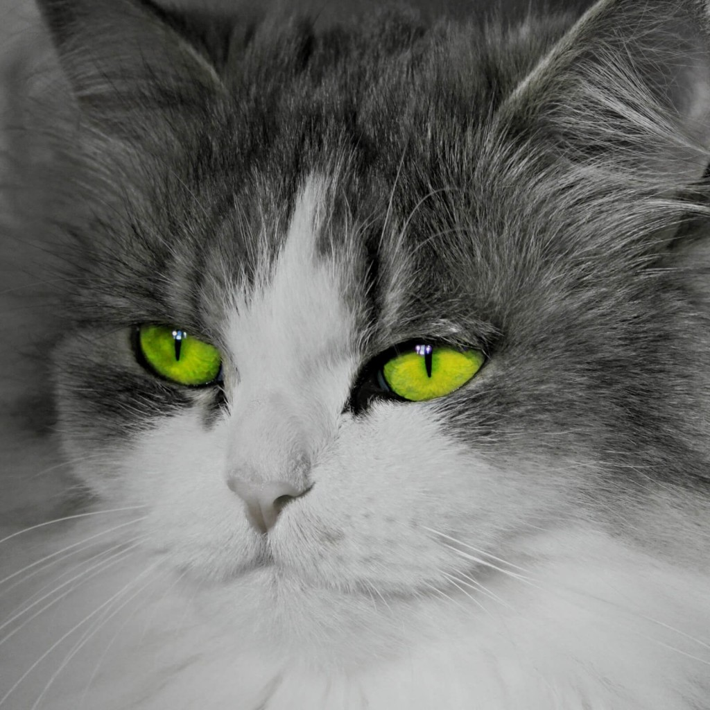Cat With Stunningly Green Eyes Wallpaper for Apple iPad 2