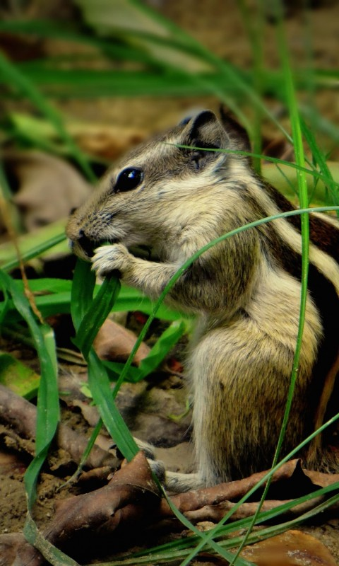 Chipmunk In The Grass Wallpaper for SAMSUNG Galaxy S3 Mini