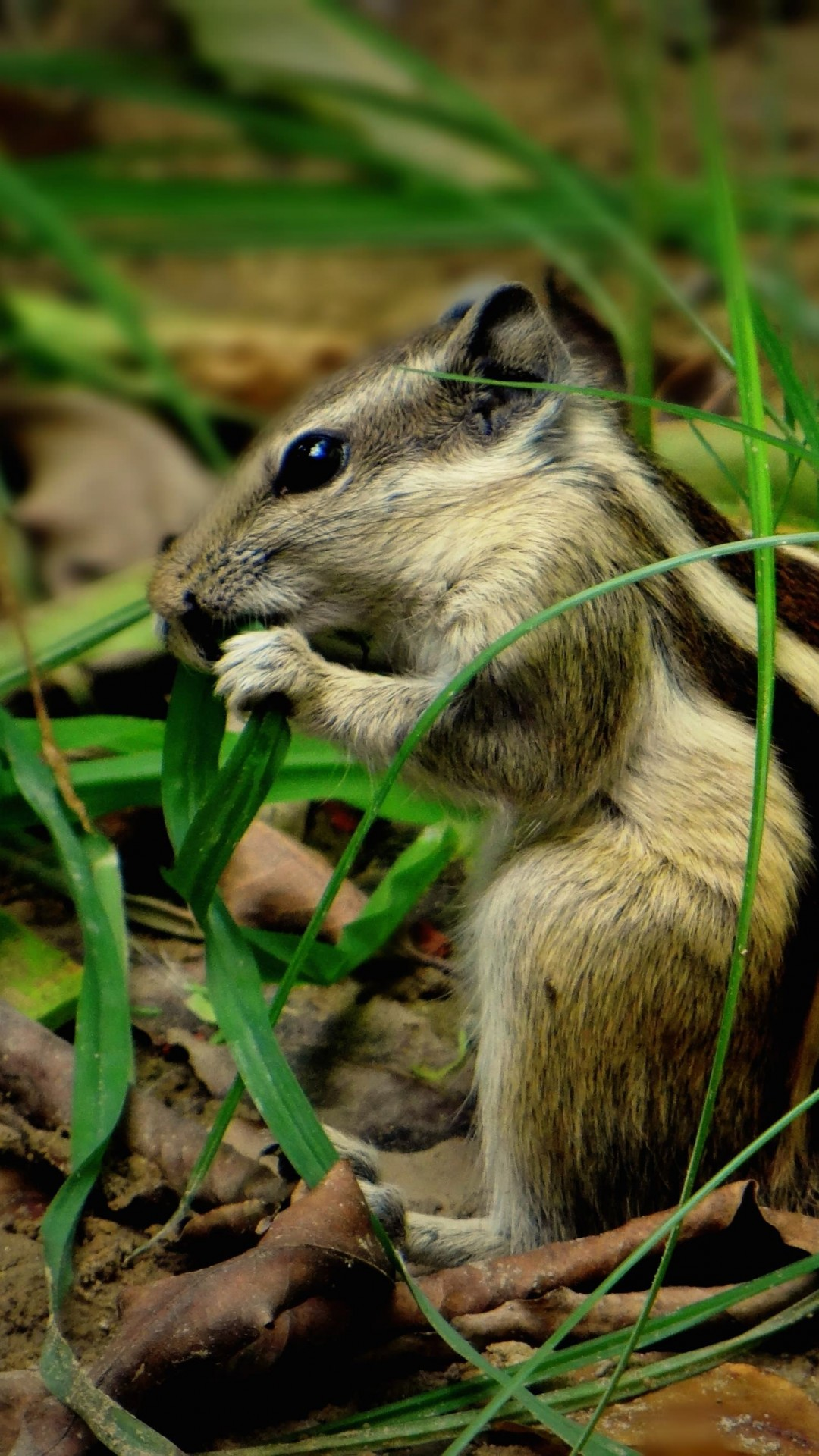 Chipmunk In The Grass Wallpaper for SAMSUNG Galaxy S4