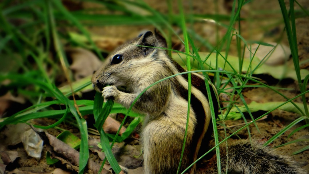 Chipmunk In The Grass Wallpaper for Social Media Google Plus Cover