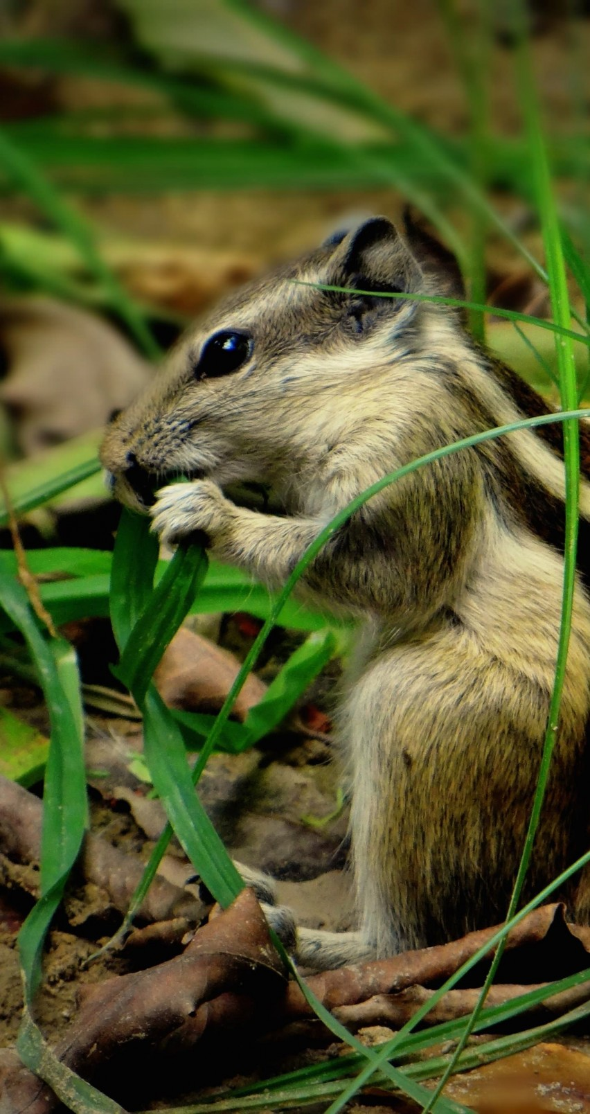 Chipmunk In The Grass Wallpaper for Apple iPhone 6 / 6s