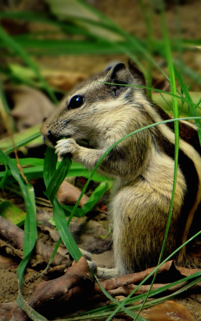 Chipmunk In The Grass Wallpaper for Amazon Kindle Fire HD