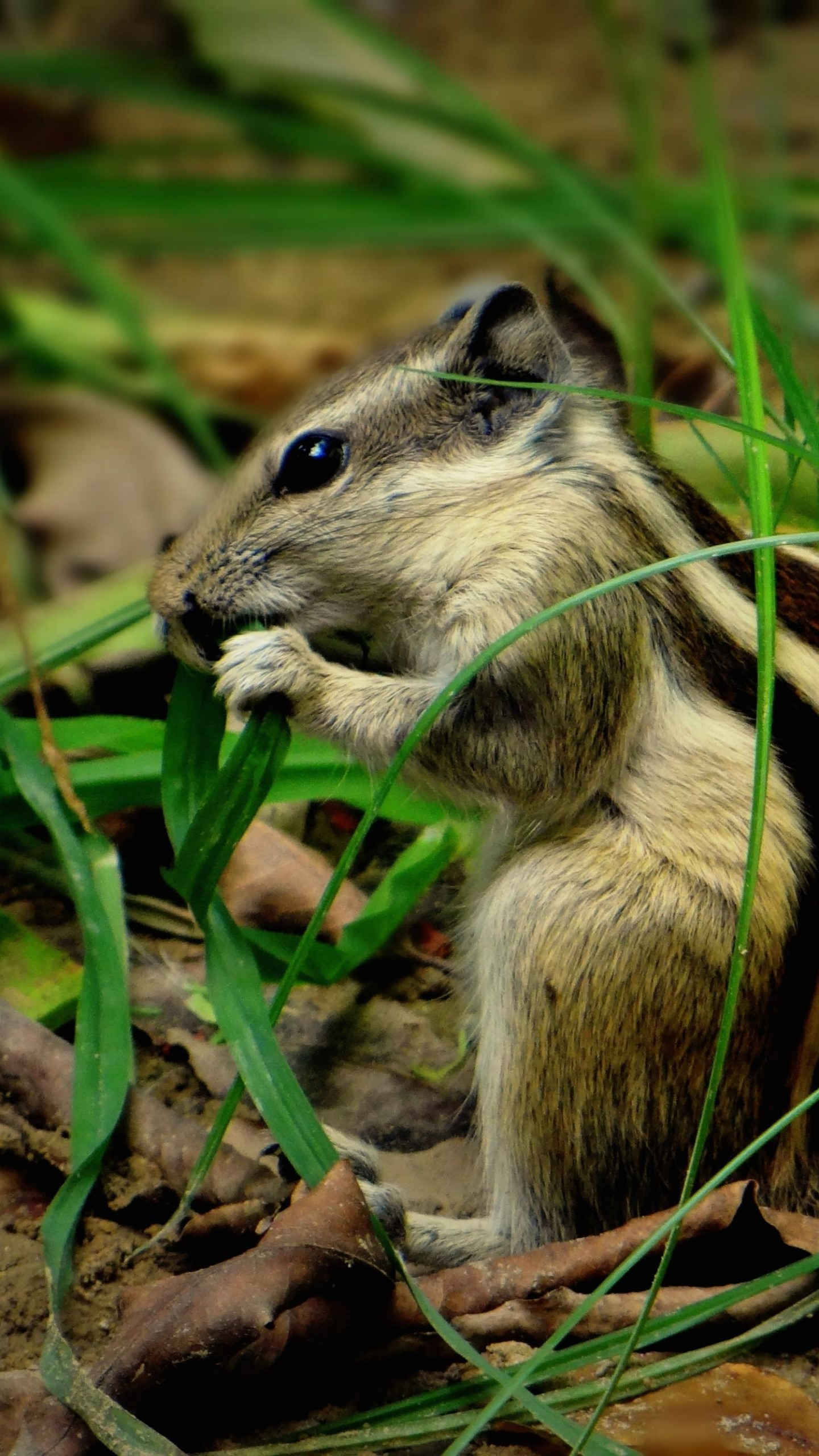 Chipmunk In The Grass Wallpaper for SAMSUNG Galaxy S6