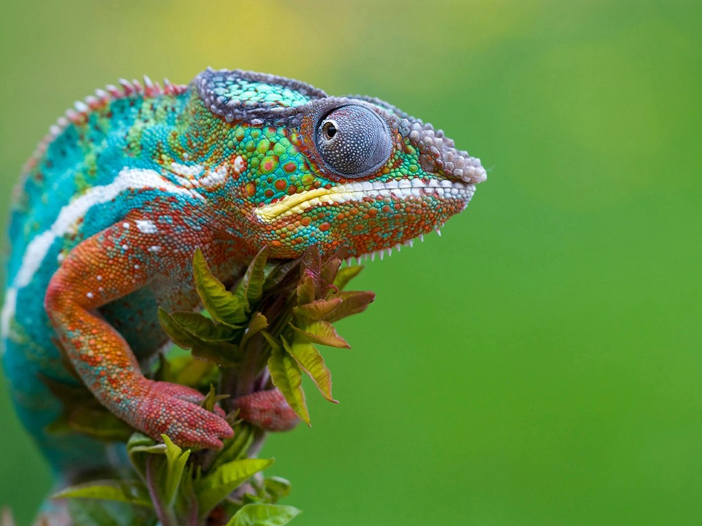 Colorful Panther Chameleon Wallpaper for Desktop 1024x768