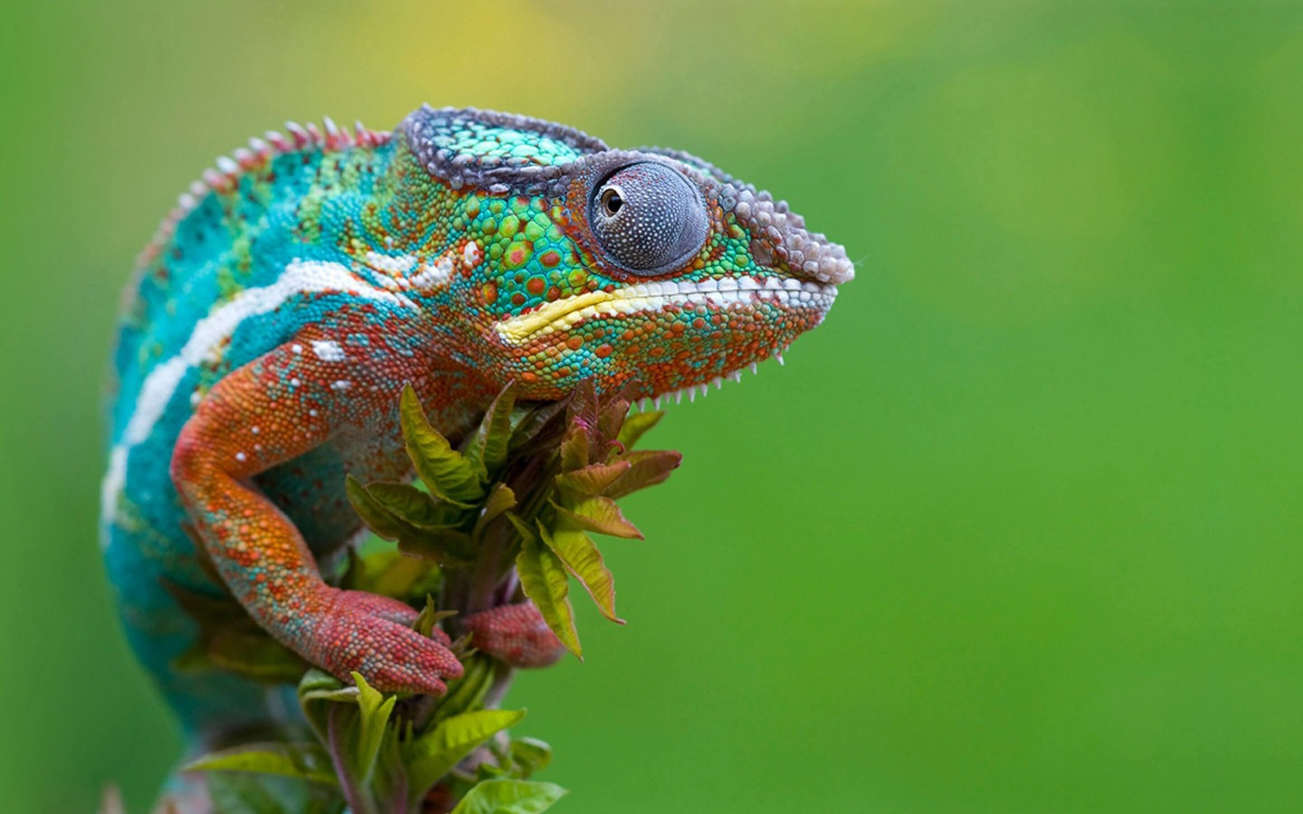 Colorful Panther Chameleon Wallpaper for Desktop 1440x900