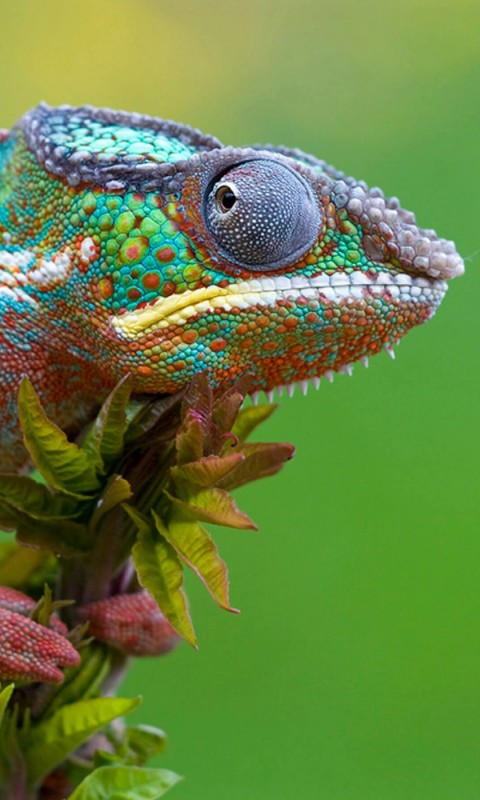 Colorful Panther Chameleon Wallpaper for SAMSUNG Galaxy S3 Mini