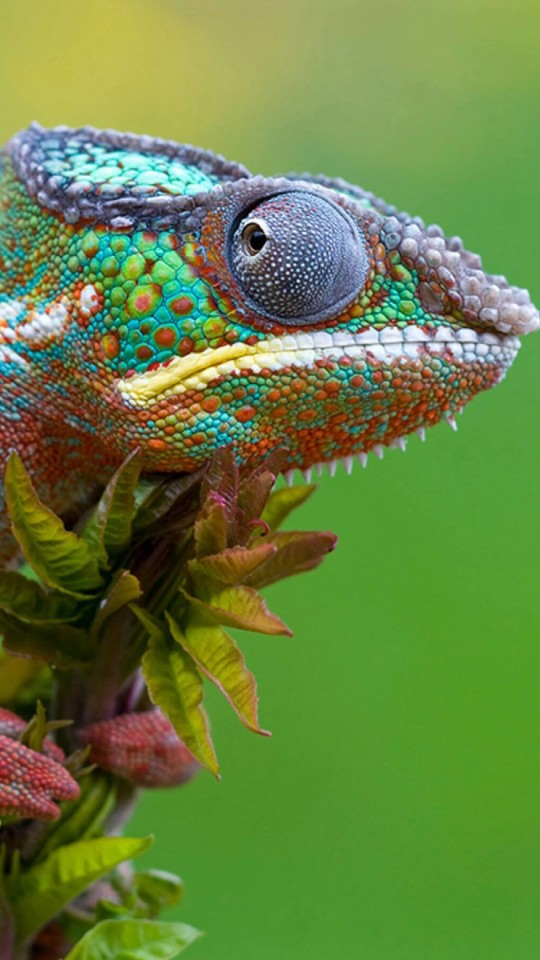 Colorful Panther Chameleon Wallpaper for SAMSUNG Galaxy S4 Mini