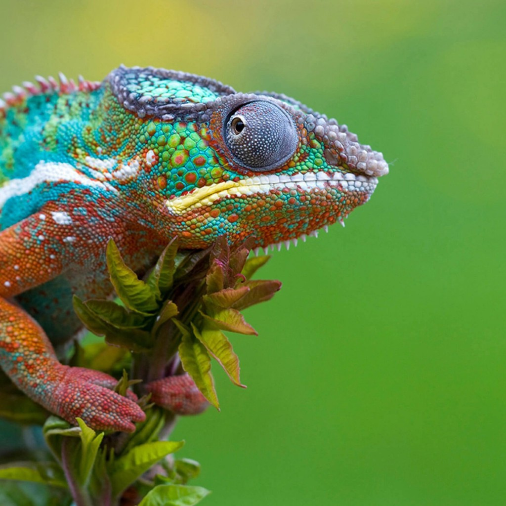 Colorful Panther Chameleon Wallpaper for Apple iPad