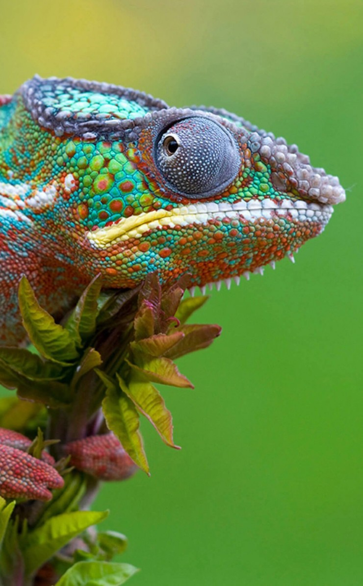 Colorful Panther Chameleon Wallpaper for Apple iPhone 4 / 4s