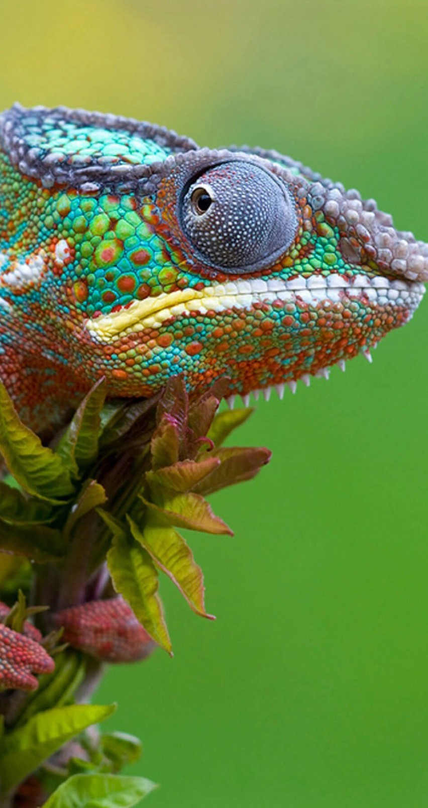 Colorful Panther Chameleon Wallpaper for Apple iPhone 6 / 6s
