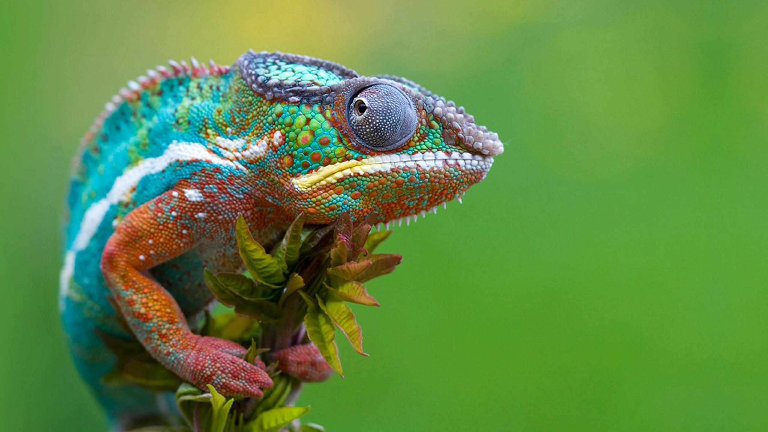 Colorful Panther Chameleon Wallpaper for Social Media YouTube Channel Art