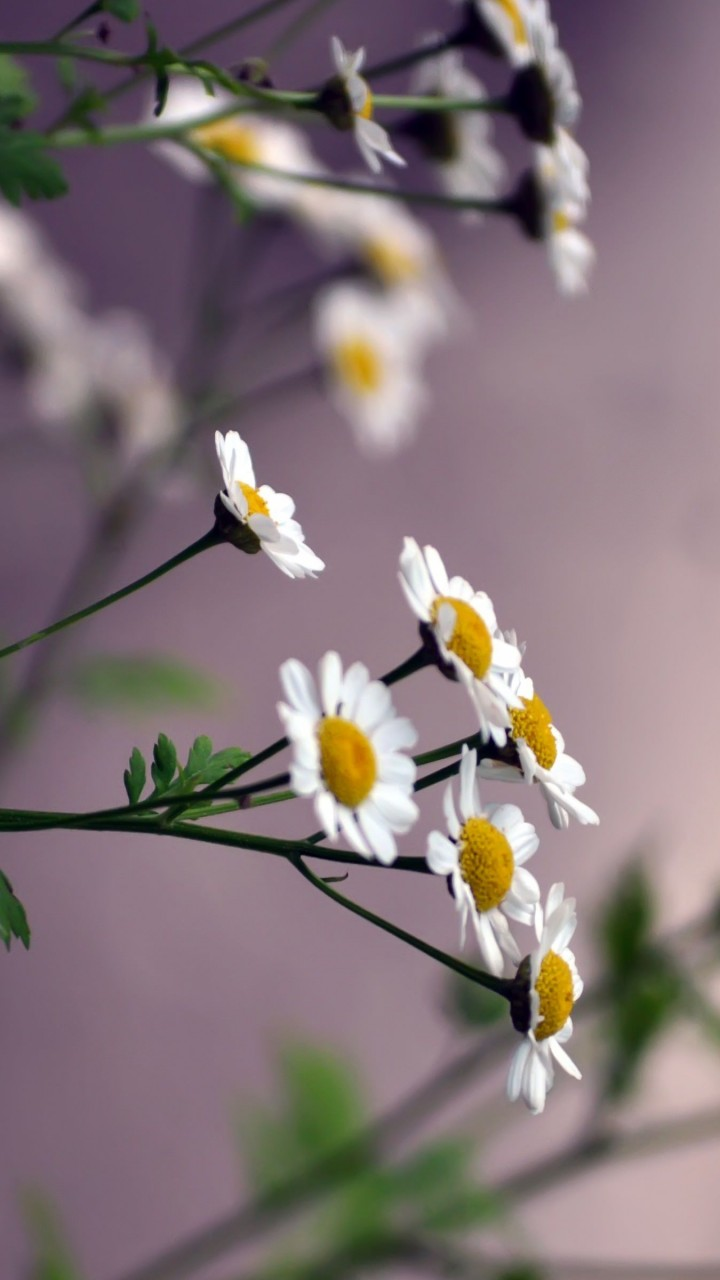 Daisy Flowers Wallpaper for SAMSUNG Galaxy Note 2