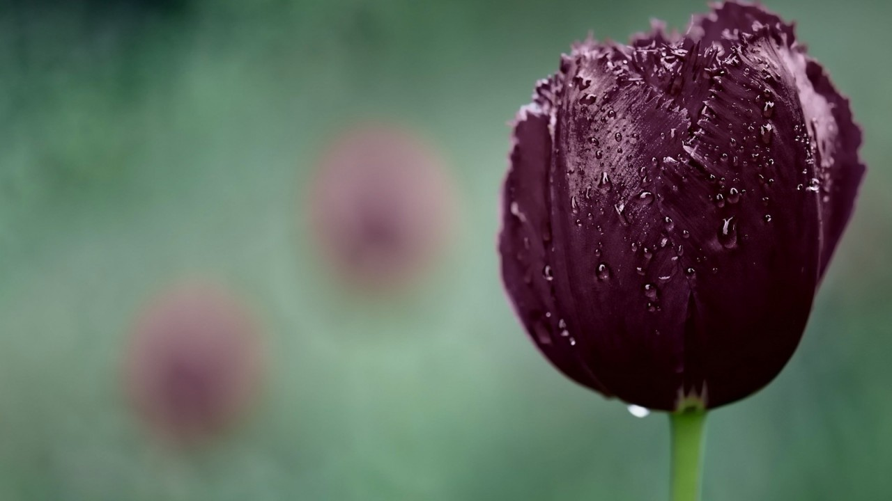 Deep Purple Tulip Wallpaper for Desktop 1280x720