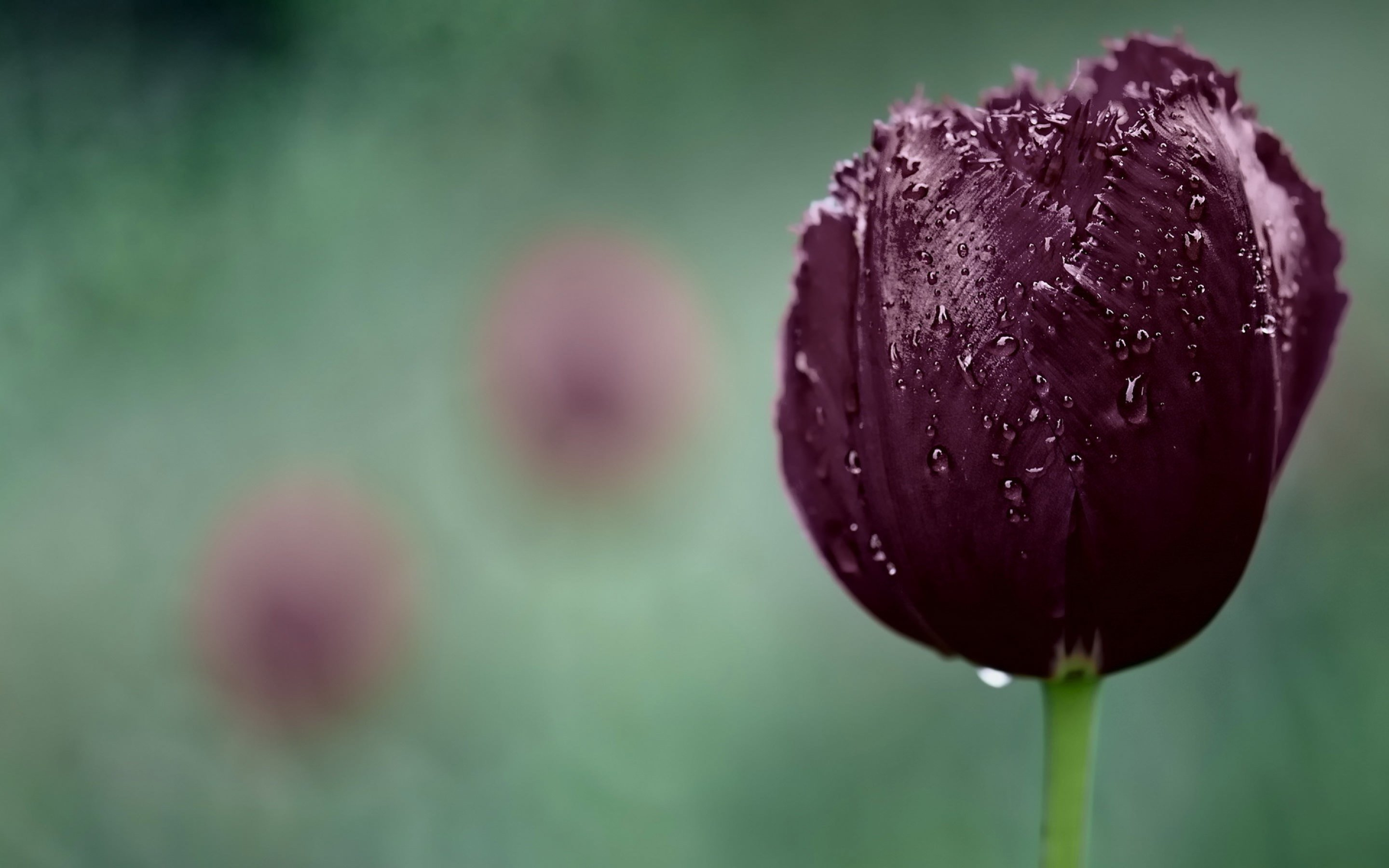 Deep Purple Tulip Wallpaper for Desktop 2880x1800