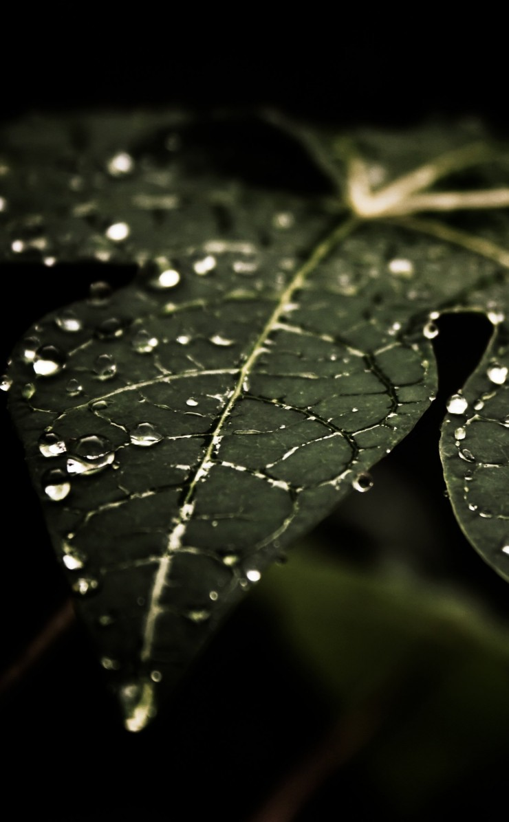 Droplets On Leaves Wallpaper for Apple iPhone 4 / 4s