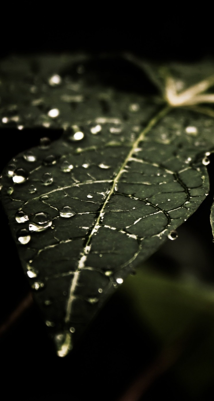 Droplets On Leaves Wallpaper for Apple iPhone 5 / 5s