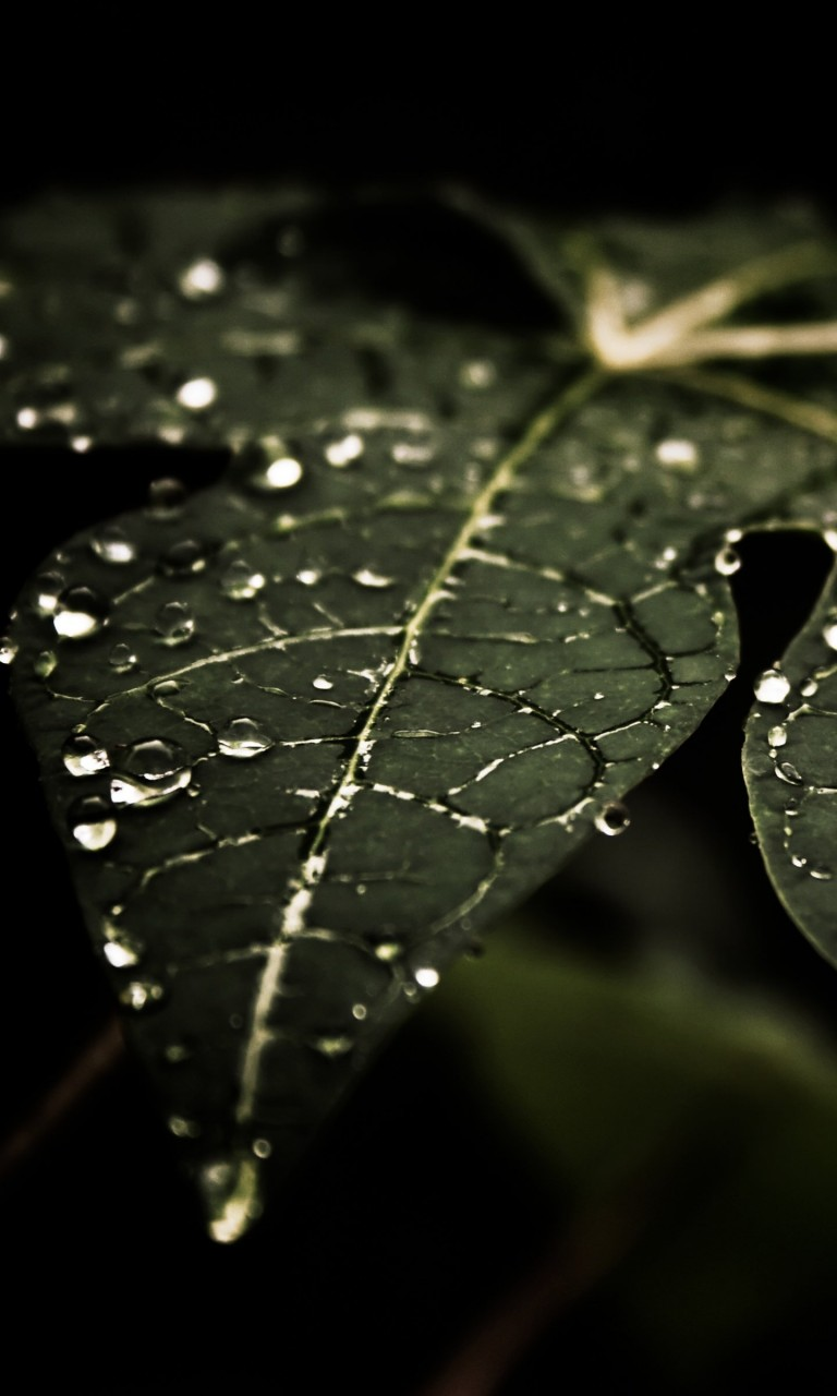Droplets On Leaves Wallpaper for Google Nexus 4