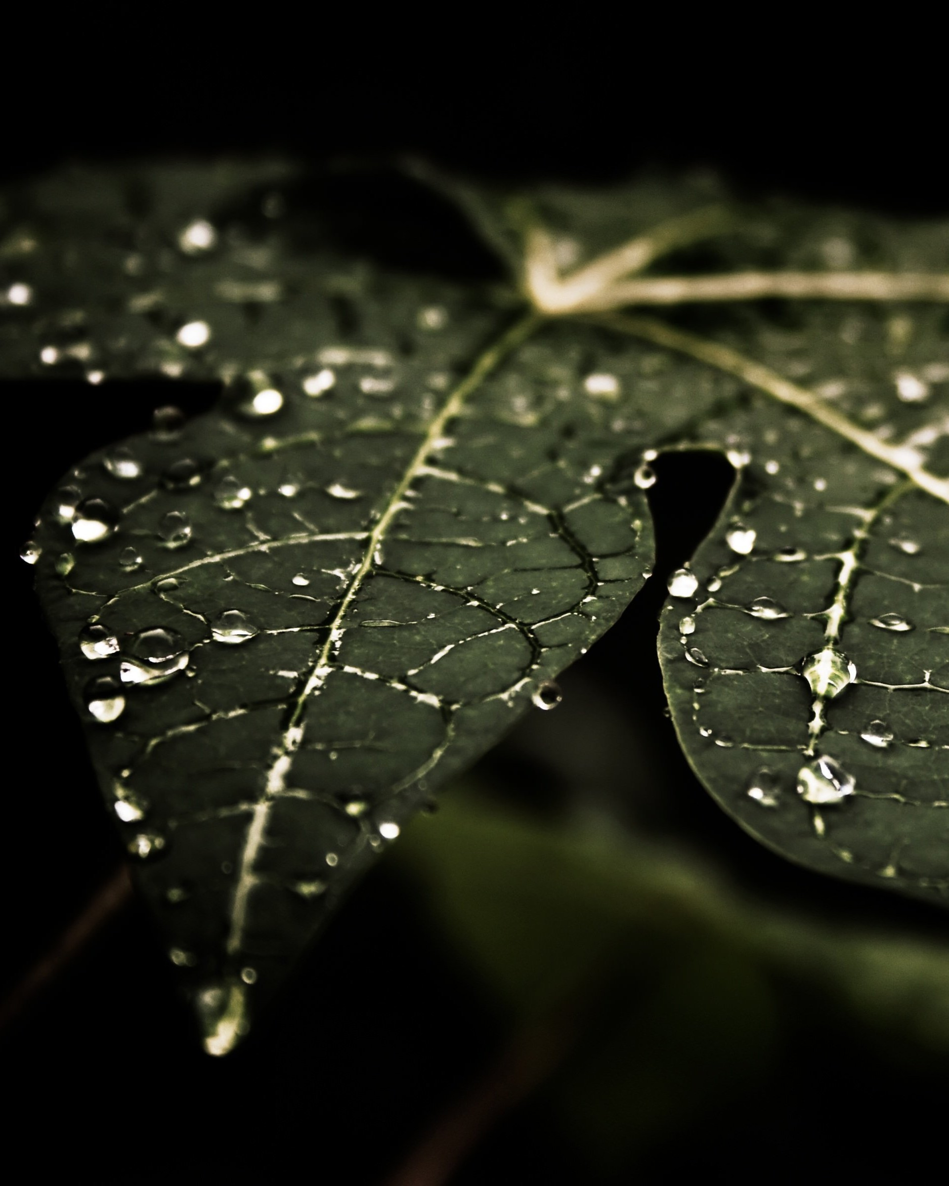 Droplets On Leaves Wallpaper for Google Nexus 7