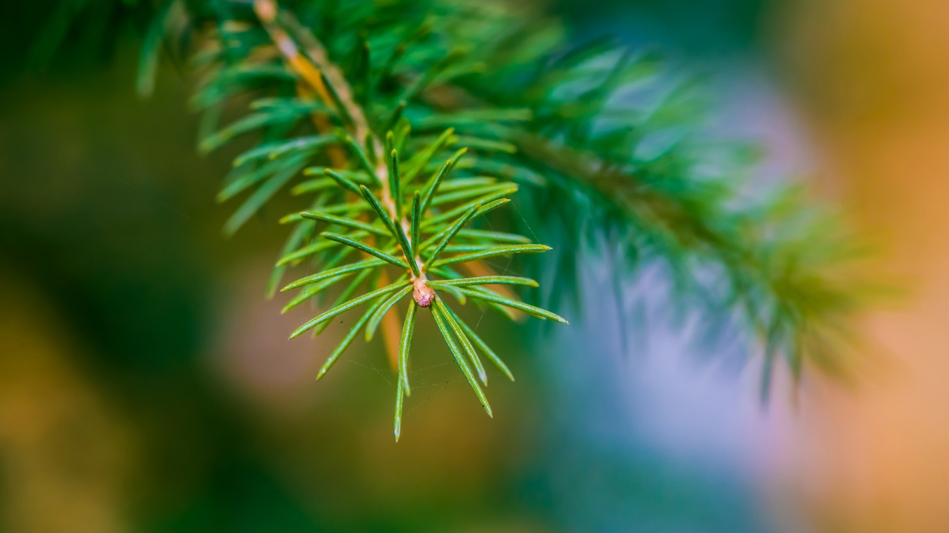 Fir Tree Branch Macro Wallpaper for Desktop 1366x768