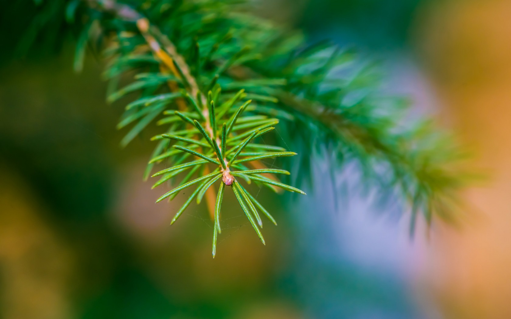 Fir Tree Branch Macro Wallpaper for Desktop 1680x1050