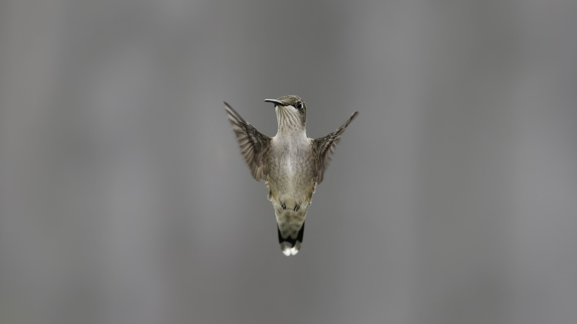 Flying Hummingbird Wallpaper for Desktop 1920x1080