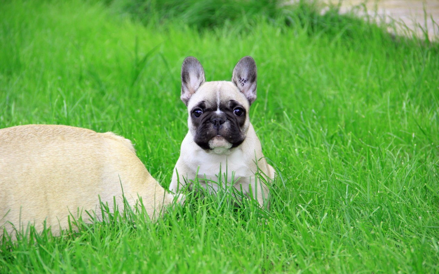 Download French Bulldog Puppy HD wallpaper for 1440 x 900 ...