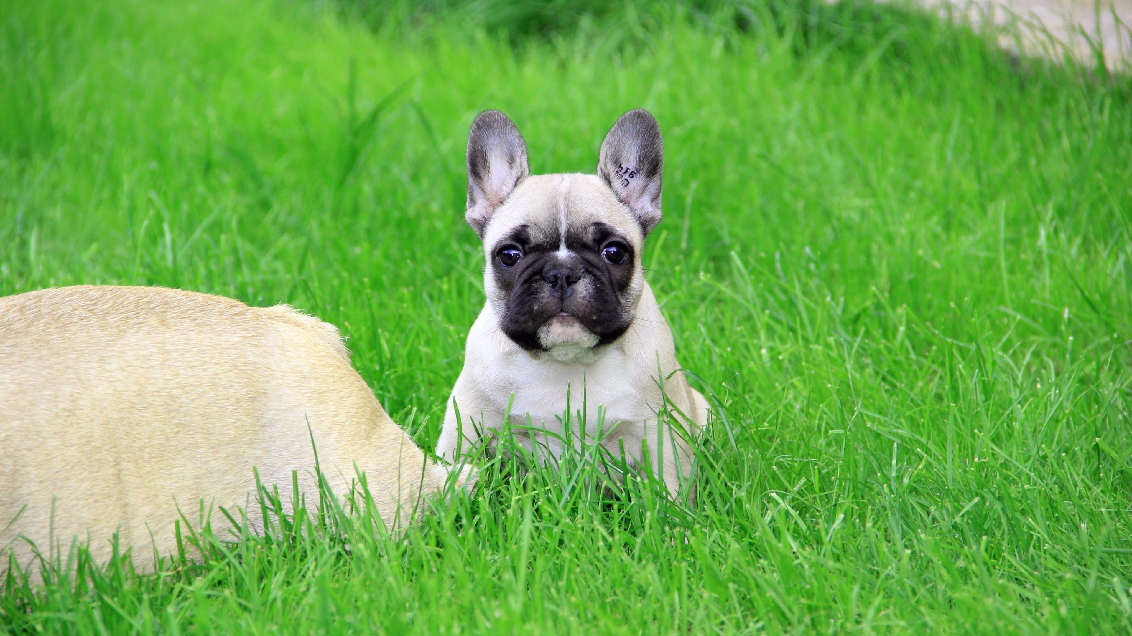 French Bulldog Puppy Wallpaper for Desktop 4K 3840x2160