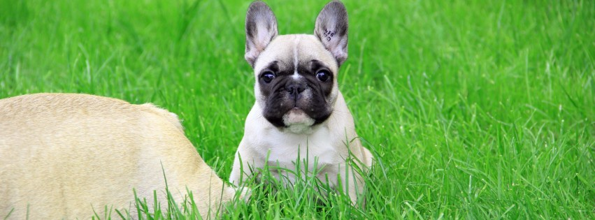 French Bulldog Puppy Wallpaper for Social Media Facebook Cover