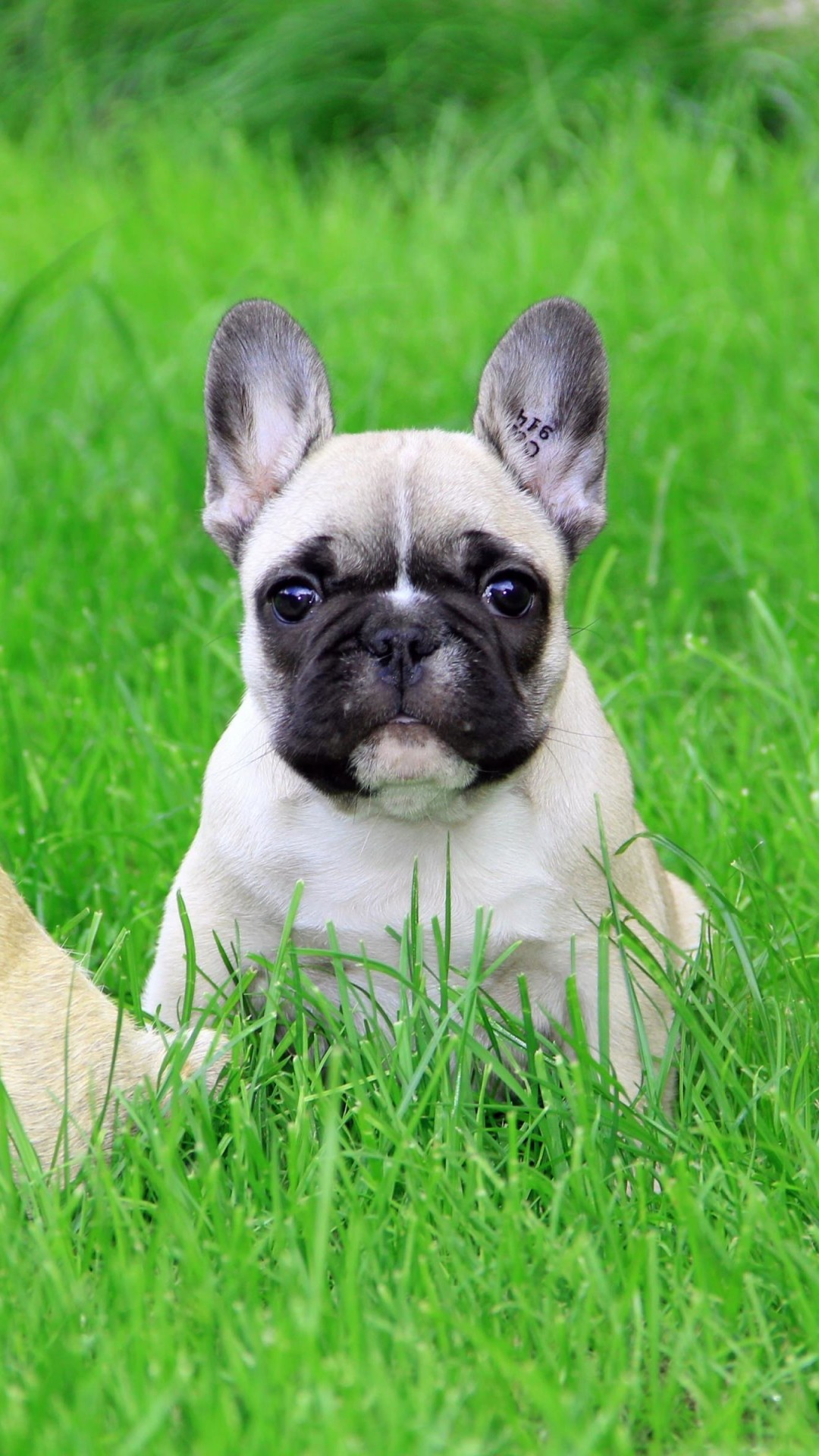 French Bulldog Puppy Wallpaper for SAMSUNG Galaxy S4