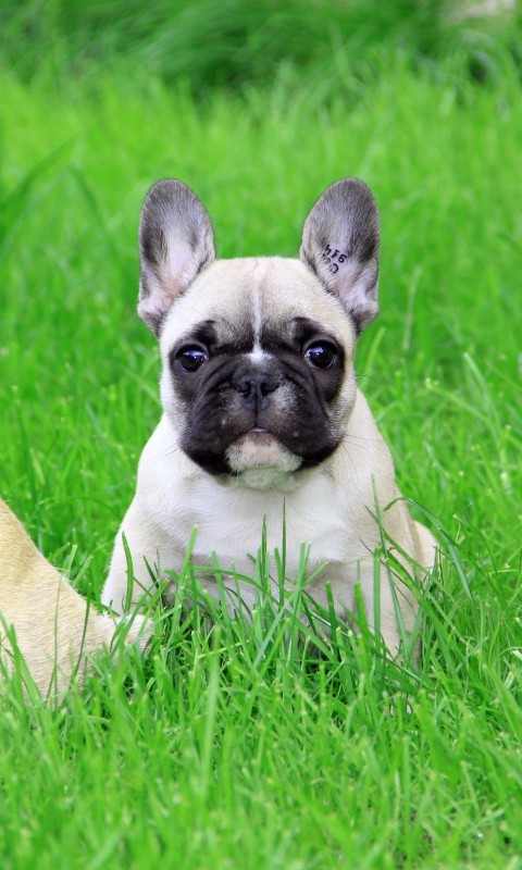 French Bulldog Puppy Wallpaper for HTC Desire HD