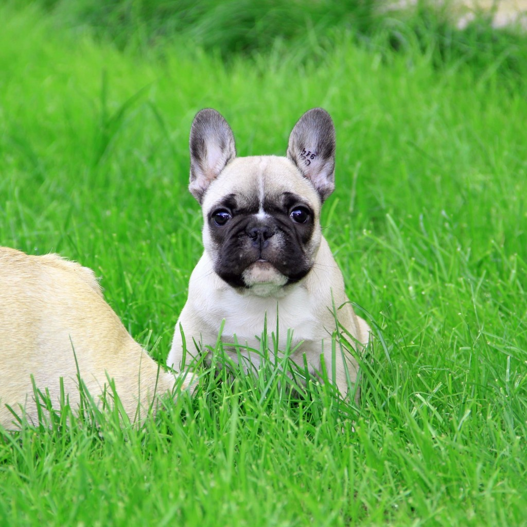 French Bulldog Puppy Wallpaper for Apple iPad 2