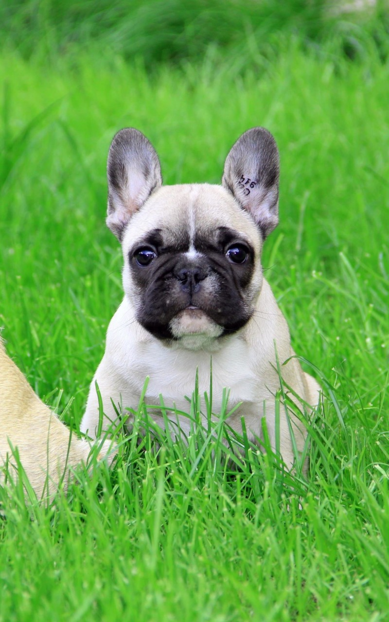 French Bulldog Puppy Wallpaper for Amazon Kindle Fire HD