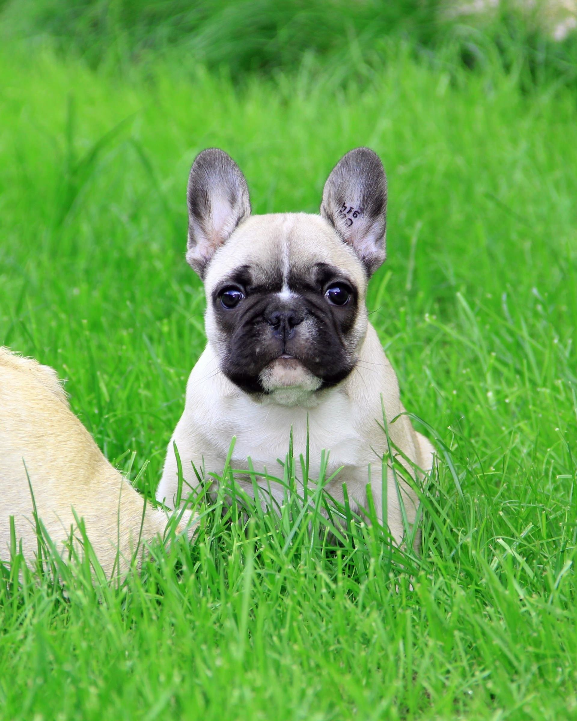 French Bulldog Puppy Wallpaper for Google Nexus 7