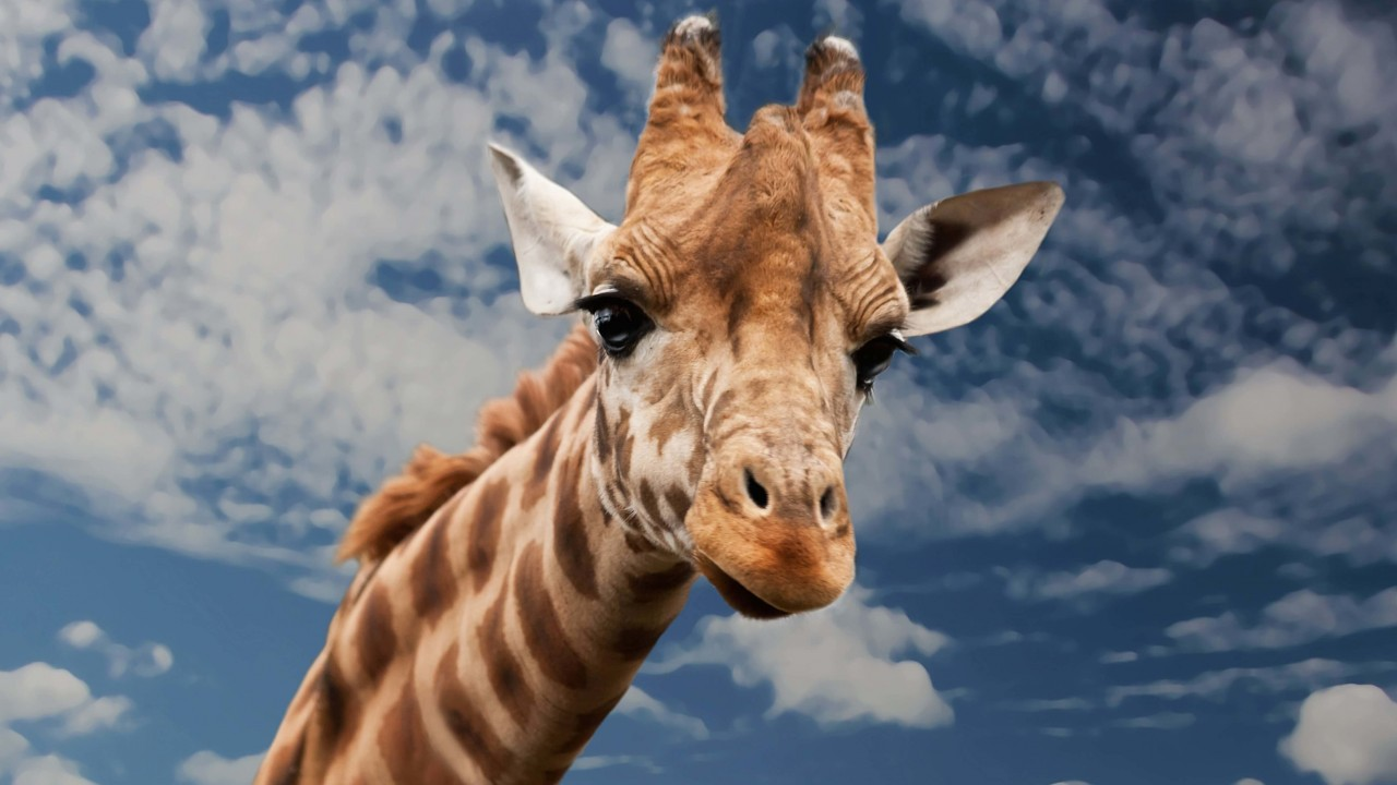 Funny Giraffe Wallpaper for Desktop 1280x720