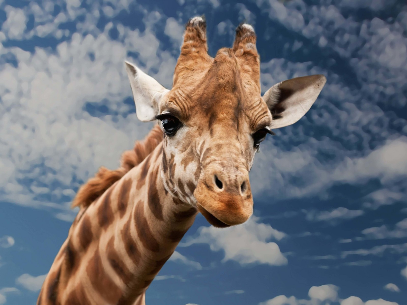 Funny Giraffe Wallpaper for Desktop 1600x1200