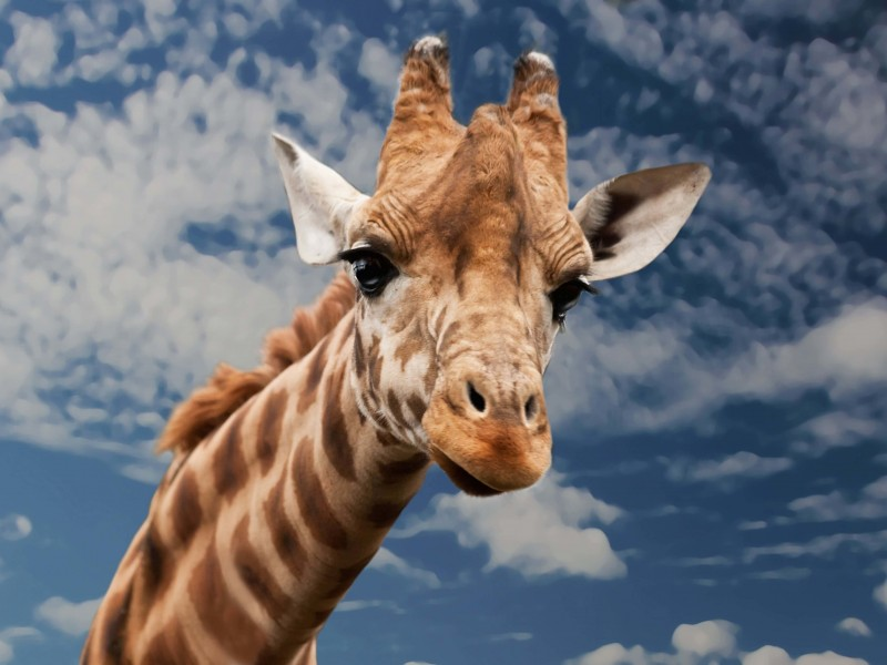 Funny Giraffe Wallpaper for Desktop 800x600