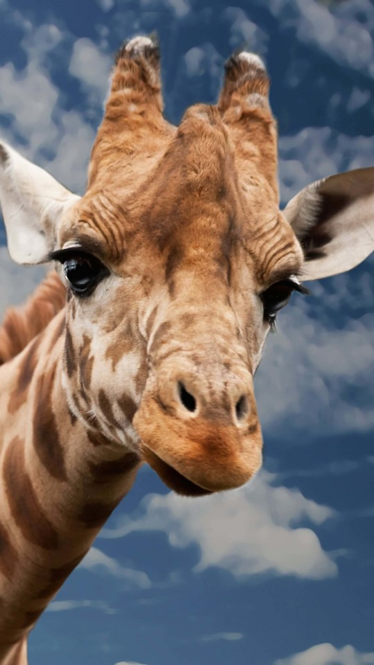 Funny Giraffe Wallpaper for SAMSUNG Galaxy S4 Mini
