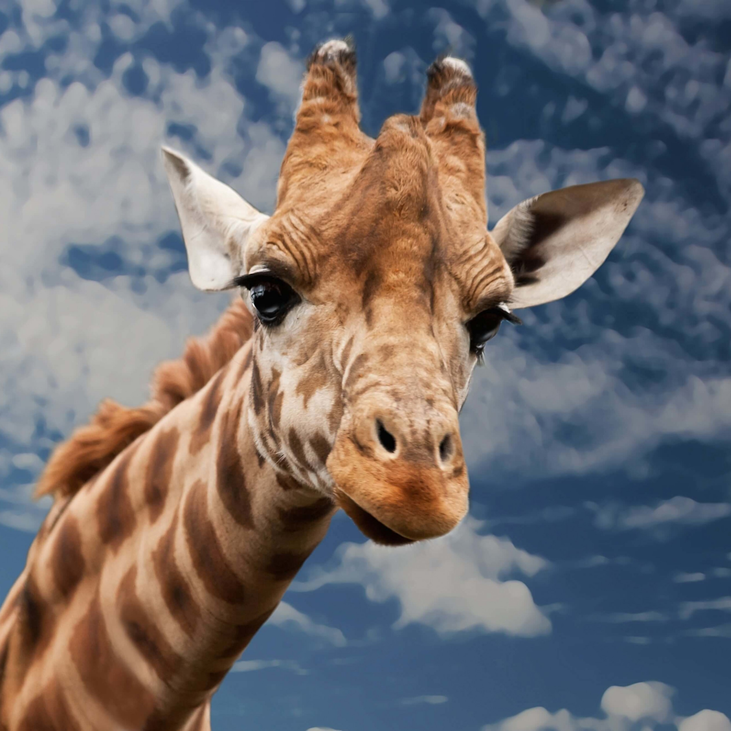 Funny Giraffe Wallpaper for Apple iPad Air